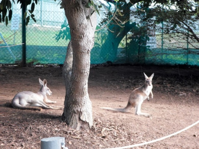 queensland zoo, big pineapple zoo, queensland zoo farm animals