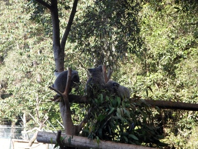 queensland zoo, big pineapple zoo, queensland zoo koalas, queensland zoo animals