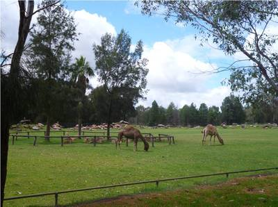 taronga, western plains, zoo, dubbo, camels