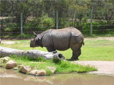 taronga, western plains, zoo, dubbo, rhino, rhinoceros, indian, greater one-horned rhinoceros